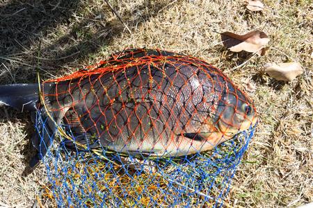 gill: Black pomfret fish Stock Photo