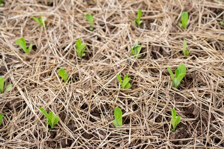 Organic salad vegetables are grown on natural soil plots.