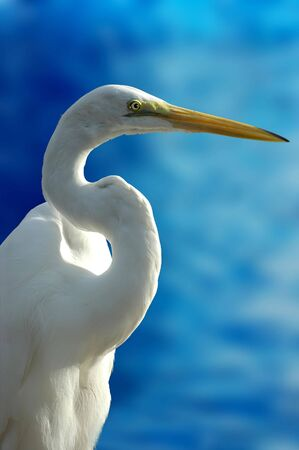 Close-up shot of a bird (white heron)