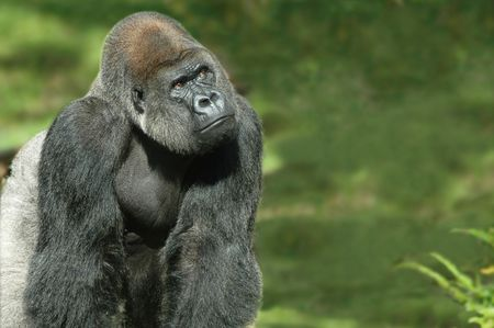 Silverback gorilla in natural green background Stock Photo