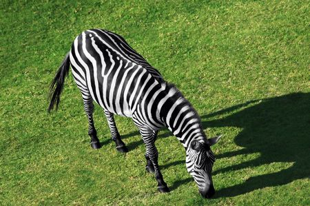 Aerial view of a grazing zebra