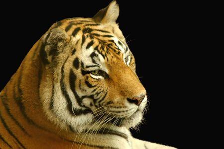 Primer plano de un tigre en la cara de fondo negro  Foto de archivo - 3142751