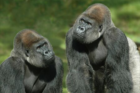 Gorillas thinking of something