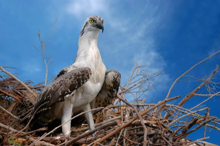 A young eagle in its nest photo