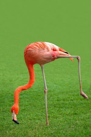 A flamingo stooping while walking looking for food