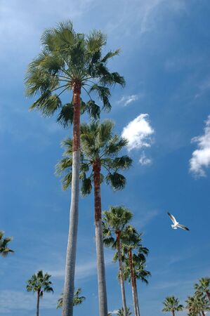Tall palm trees and a sunny sky background photo