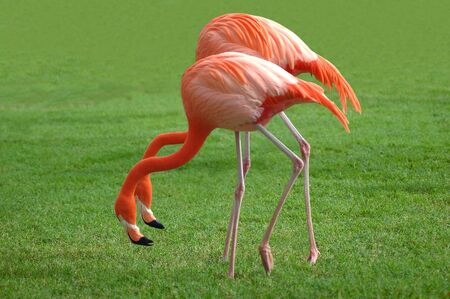 A couple of flamingos in an awkward position Stock Photo
