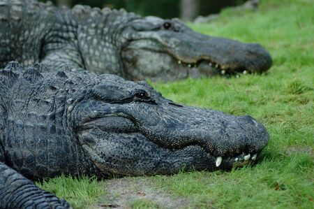 A couple of crocodiles resting on grass