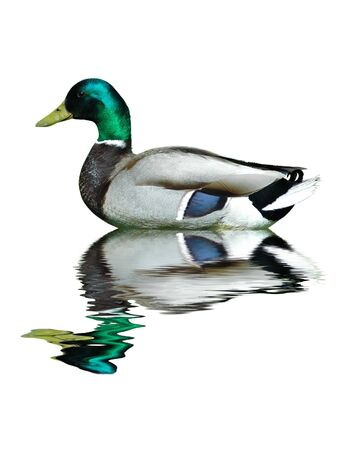 A mallard (duck) on water isolated in white background