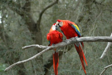 A couple of parrots (macaw) ing each other on a branch.