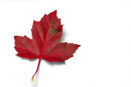 A red maple leaf Stock Photo