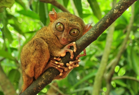 Tarsier (Tarsius Syrichta), the world