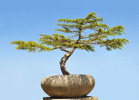 A bonsai tree in a pot.