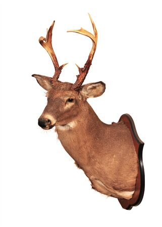 Deer head taxidermy mounted on wall isolated in white background.