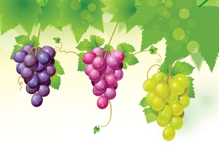 grape vine: green grapes red grapes and leaves on a white background. Illustration
