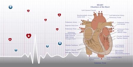 ailment: Anatom�a del coraz�n y el fondo ecg