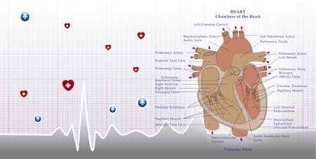 stress test: heart anatomy and ecg background Illustration