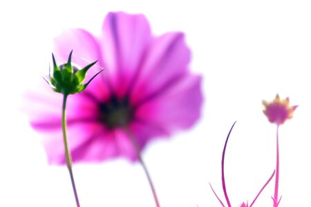 big daisy: cosmos flower on white background