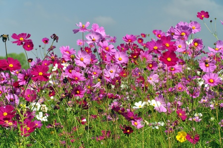purple flower: Cosmos Flower field with blue sky Stock Photo