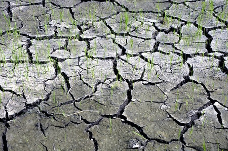 arid climate: The cracked land and rice seedlings in Thailand Stock Photo