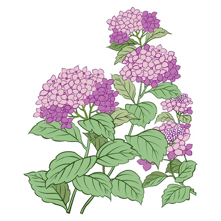Hydrangea flower and leaf isolated on white Vector