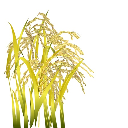 brown rice: Rice grain paddy and leaf isolated on white