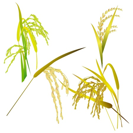 grain fields: Rice grain paddy and leaf isolated on white