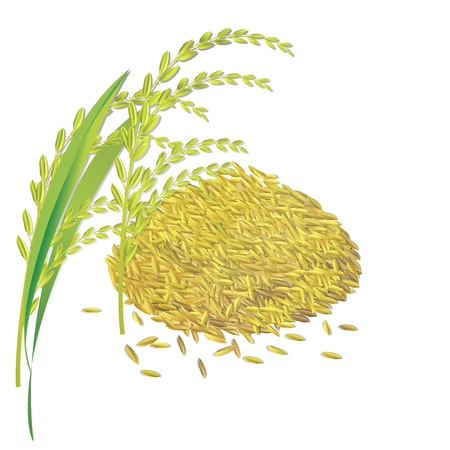 Rice grain paddy and leaf isolated on white Vector