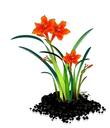 plant stand: Planting flowers Hippeastrum Illustration