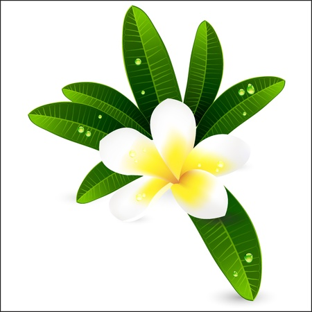 White plumeria or Frangiapani with leaves illustration Vector