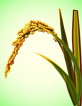 crop  stalks: Illustration of spike rice in Asia Illustration