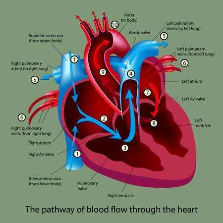 circulation: blood flow through the heart Illustration