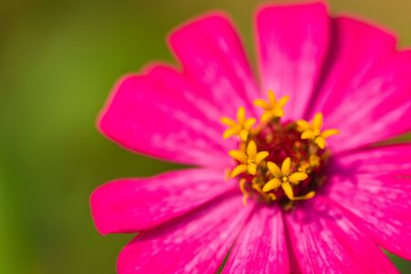 Closeup of a beautiful Pollen Chrysanthemum flower Stock Photo - 14185220