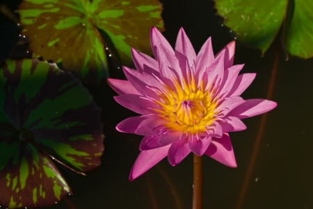 The pink lotus blossoms in the summer  Stock Photo - 14190112