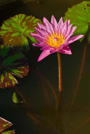 The pink lotus blossoms in the summer Stock Photo - 14190108