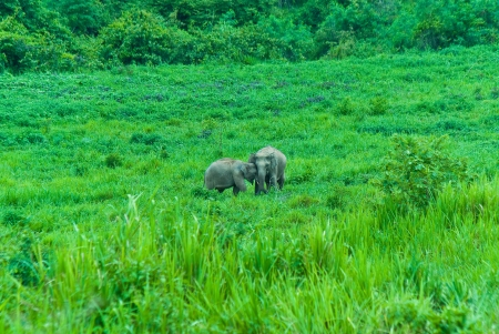 kaeng: Asian elephants is a species of elephants in the  Kaeng Krachan National Park