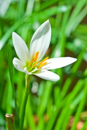Zephyranthes  Zephyranthes spp  Zephyranthes Lily, Rain Lily ,Fairy Lily, Little Witches Stock Photo - 14190152