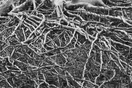 The Tree roots, black and white background