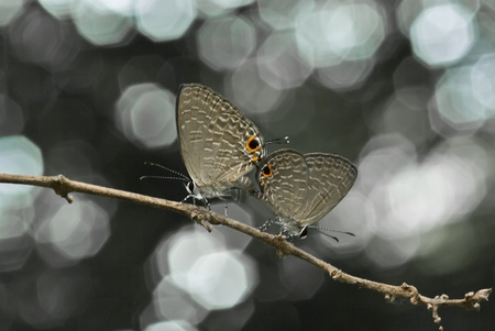 behind the scenes: Blue butterfly species are bred and beautiful bokeh behind the scenes,Thailand