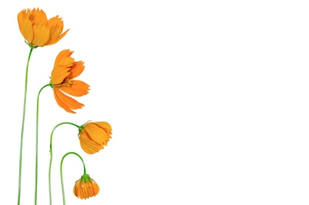 Beautiful yellow cosmos flower isolated on a white background  photo