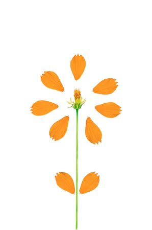 Beautiful yellow cosmos flower isolated on a white background Stock Photo - 14529357