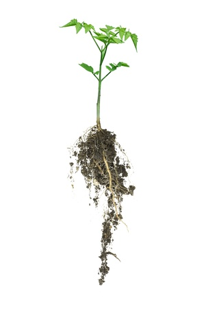 The trees that grow from the soil  Security can be isolated on a white background  photo