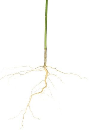 The root of the tree that can be isolated on a white background  Stock Photo