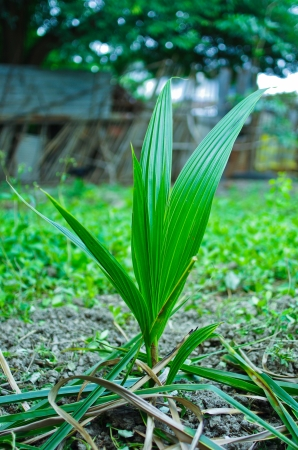 coconut seedlings: The newly planted coconut seedlings into the ground. Stock Photo