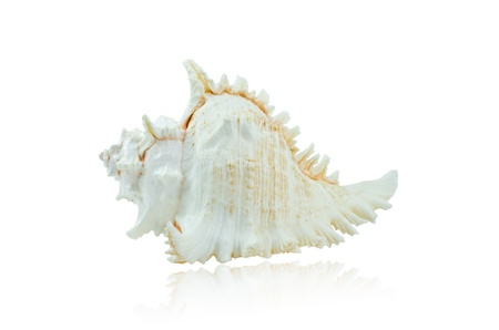murex shell: The Murex Shell isolated on white background