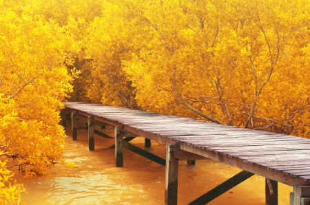 Wood bridge in yellow mangrove forest  Explore nature  photo