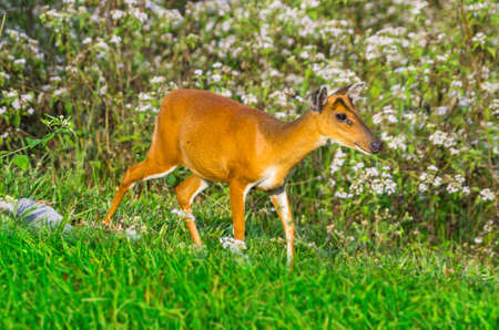Deer in Khao Yai National Park, Thailand. Stock Photo