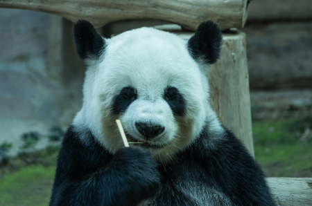 giant panda bear  eating bamboo for food. Chiang Mai Zoo in Thailand
