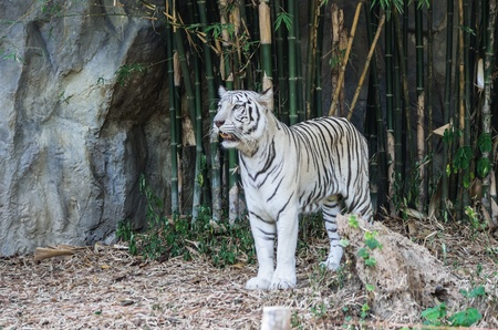 White tiger in a zoo in Chiang Mai, Thailand. photo