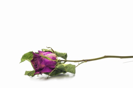 Dried pink roses on a white background. photo